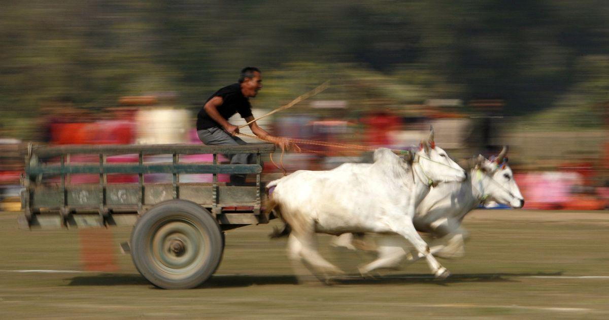 Bullock cart racing is now legal in Maharashtra