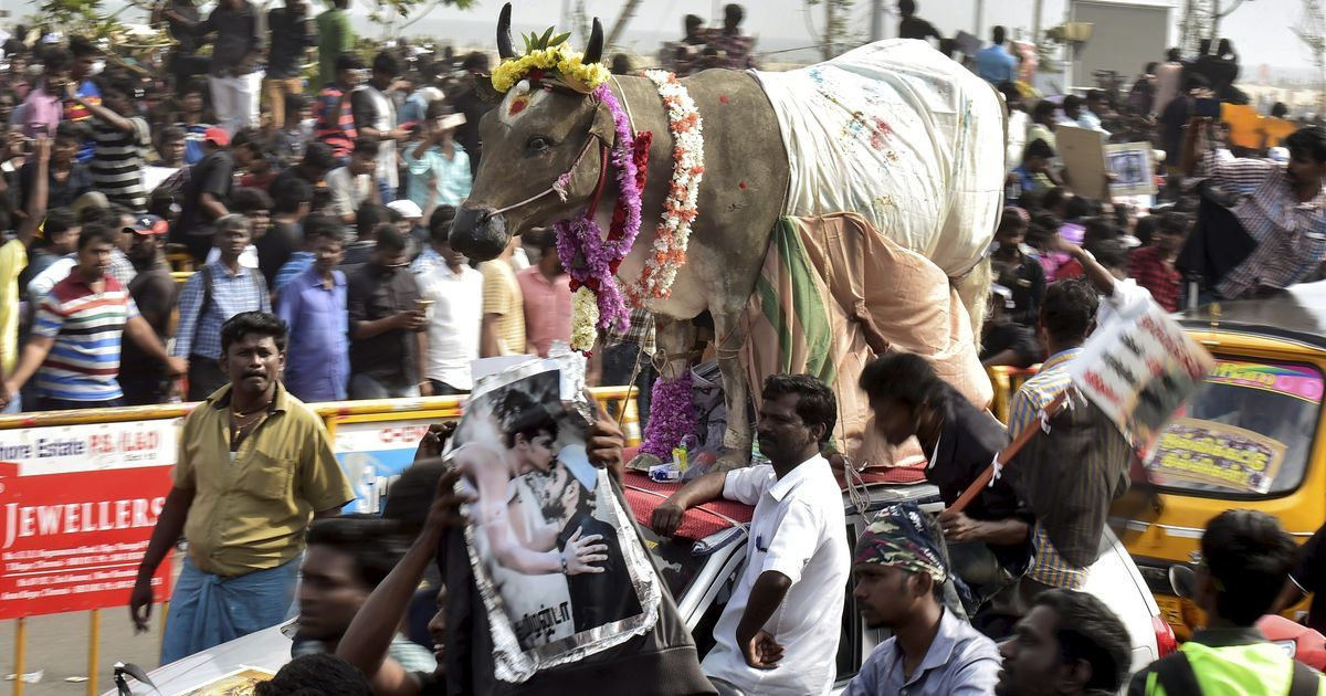 Tamil Nadu governor approves ordinance on jallikattu