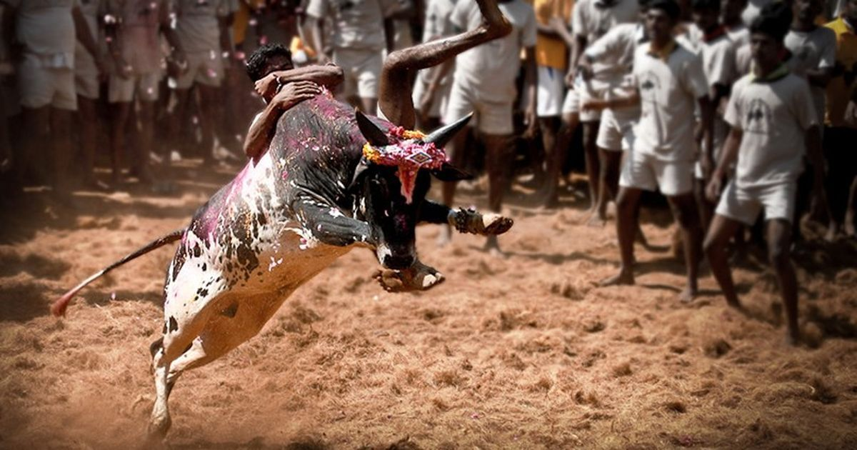 Alanganallur Jallikattu: At least 74 persons injured, 23 admitted