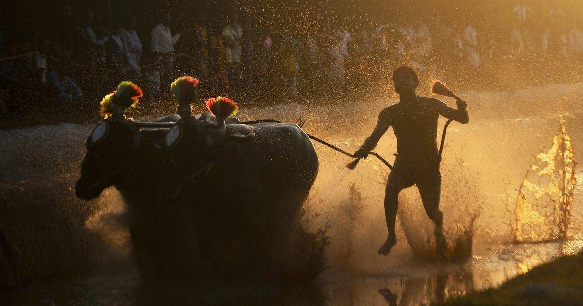 Karnataka: Kambala supporters launch protests to bring back buffalo racing, call for ban on PETA