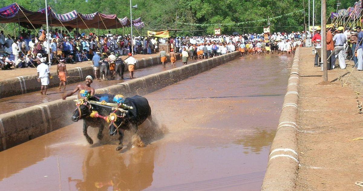 Will look into kambala ban after Supreme Court verdict on jallikattu, says Karnataka HC
