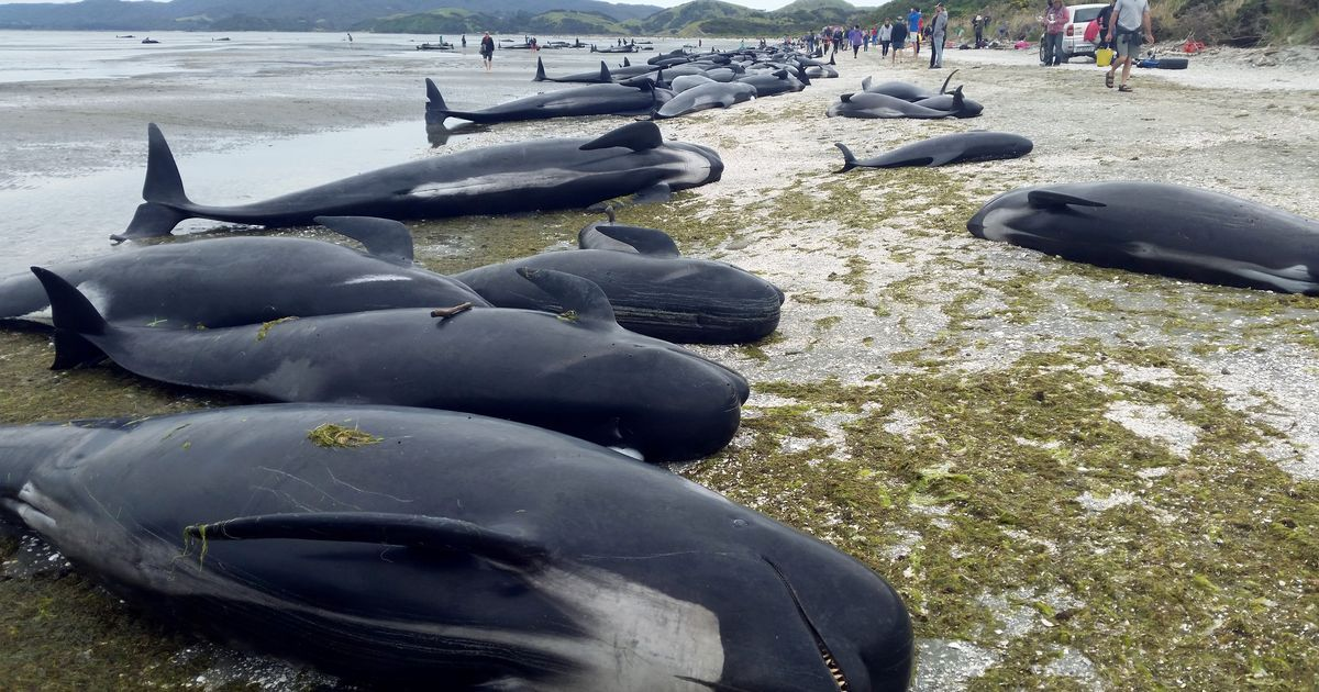 Hundreds of whales dead in mass New Zealand stranding