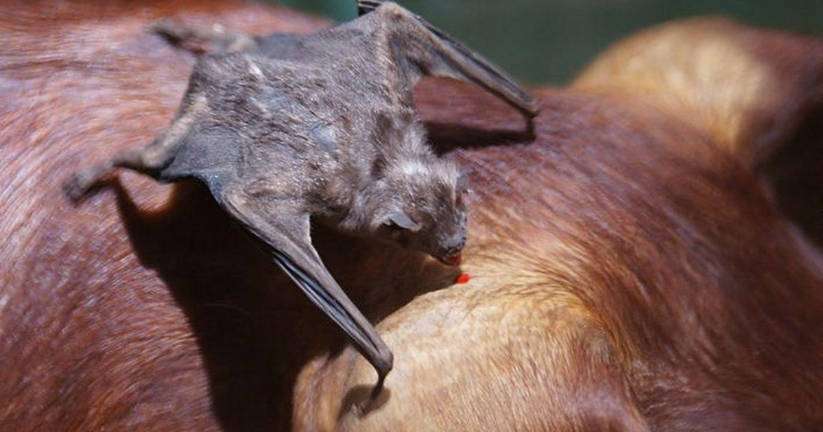 Vampire Bat Drinking Human Blood