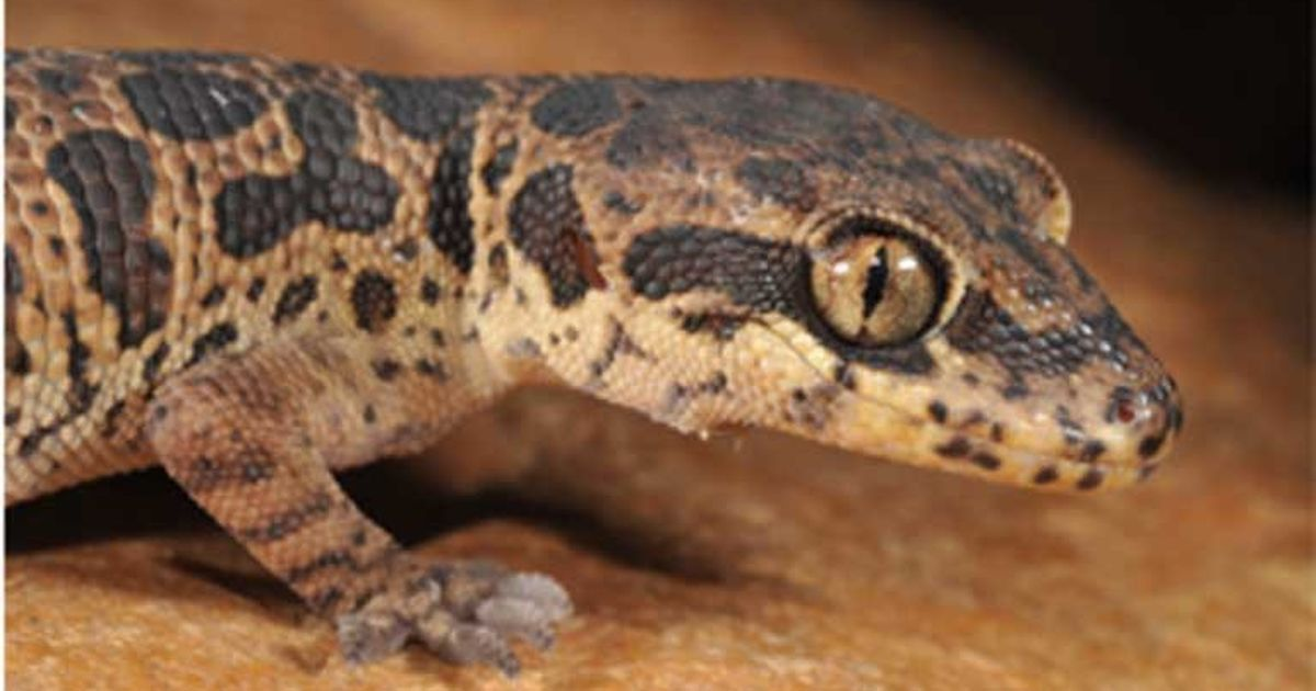 After brief resurrection, Jeypore ground gecko faces second death sentence