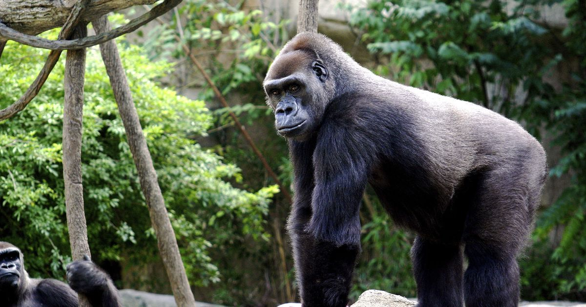 There is a moral argument for keeping great apes in zoos