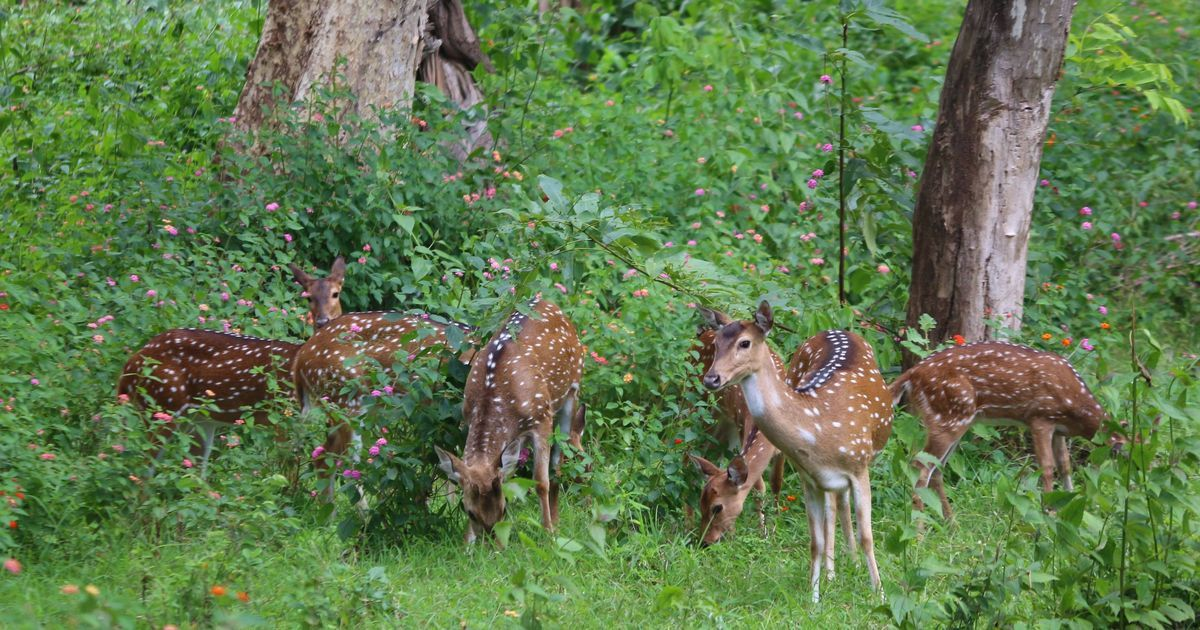 In the Nilgiris, invasive plant species are driving animals into conflict with humans