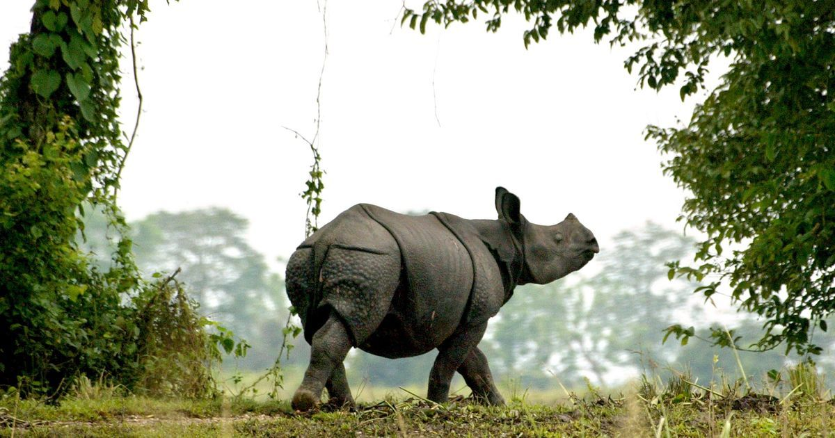 Population of one-horned rhino in Kaziranga rose marginally by 12 from the last census in 2015