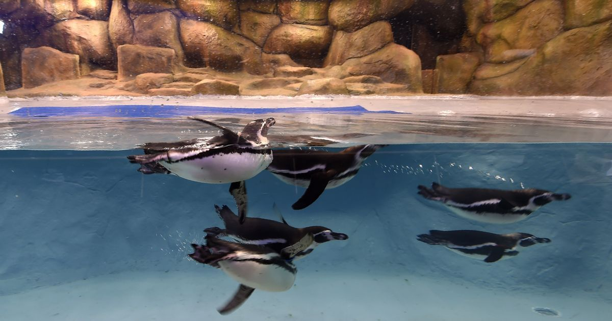 Endangered penguins will be on display at Mumbai's Byculla zoo from Saturday, despite criticism
