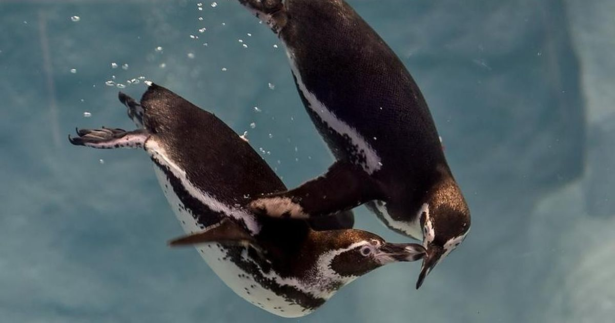 Donald, Popeye, Mr Molt: Penguins at the Mumbai zoo are finally set for their public debut