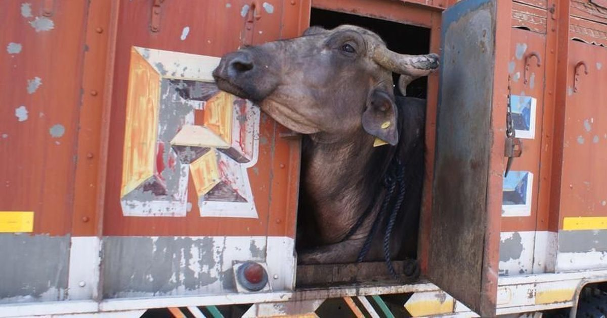 Gau rakshaks in Maharashtra will soon be given 'identity cards' by the VHP