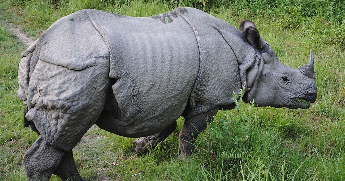 Despite numerous challenges, rhinos are thriving in India's Jaldapara National Park