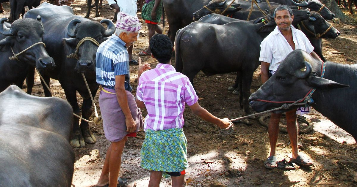 Kerala govt considers law to counter Centre's cattle ban