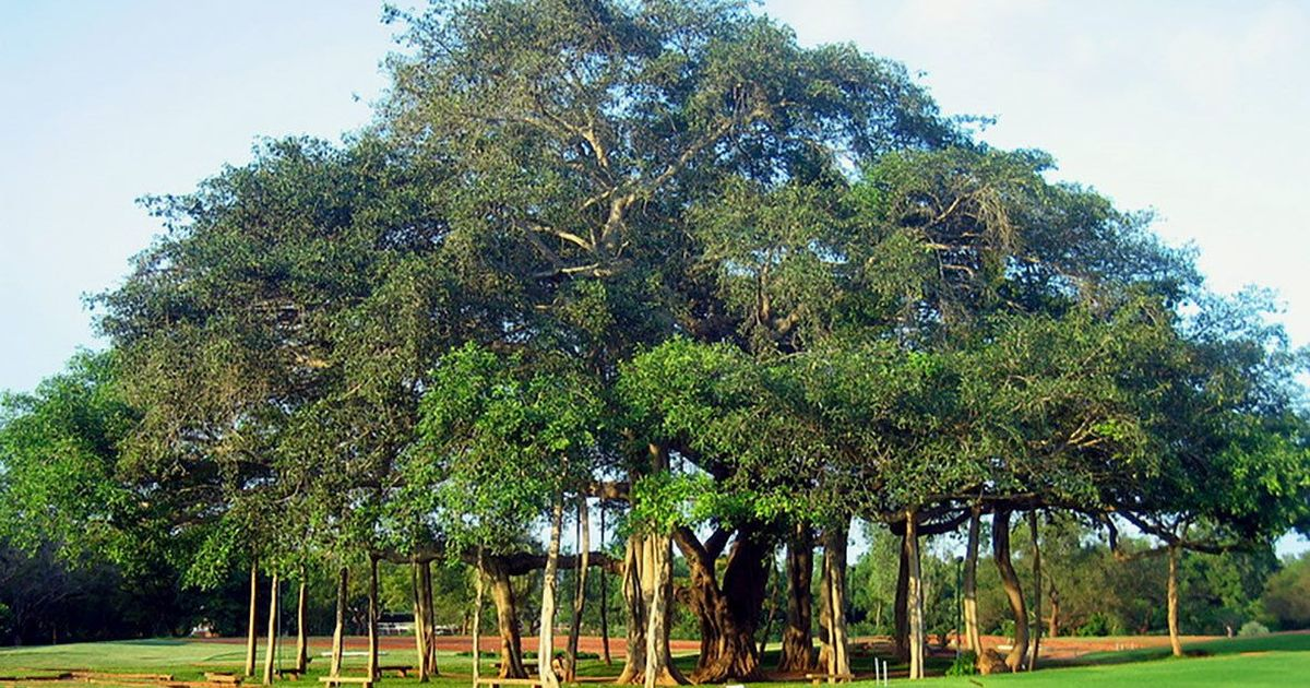 Why the tree of knowledge should be reimagined as a banyan