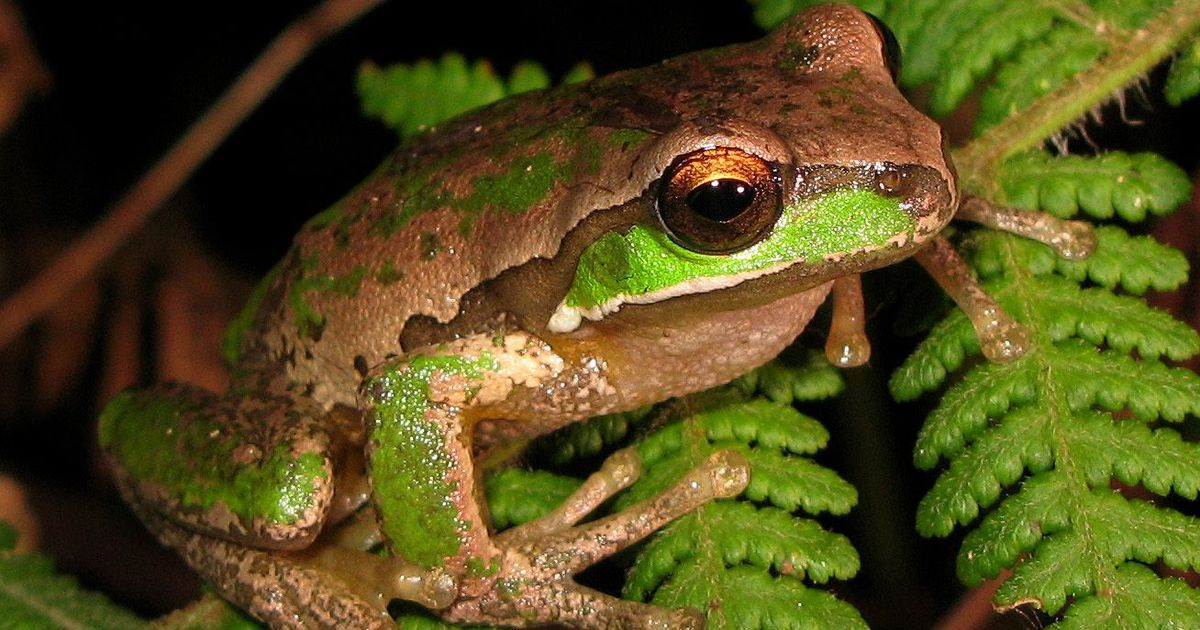How the mass extinction event that killed dinosaurs gave us the majority of frogs alive today