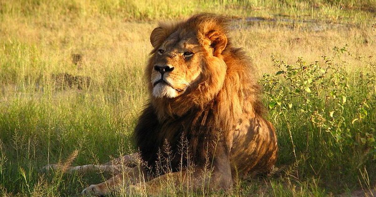 Trophy hunters shoot and kill Cecil the Lion's son
