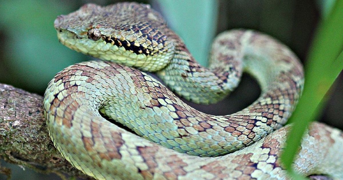 Photos: This shy Indian viper may finally get more admirers because of the efforts of a Goa group