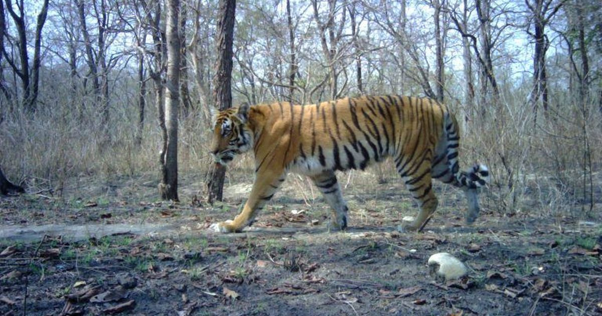 How researchers increased the tiger population three-fold in