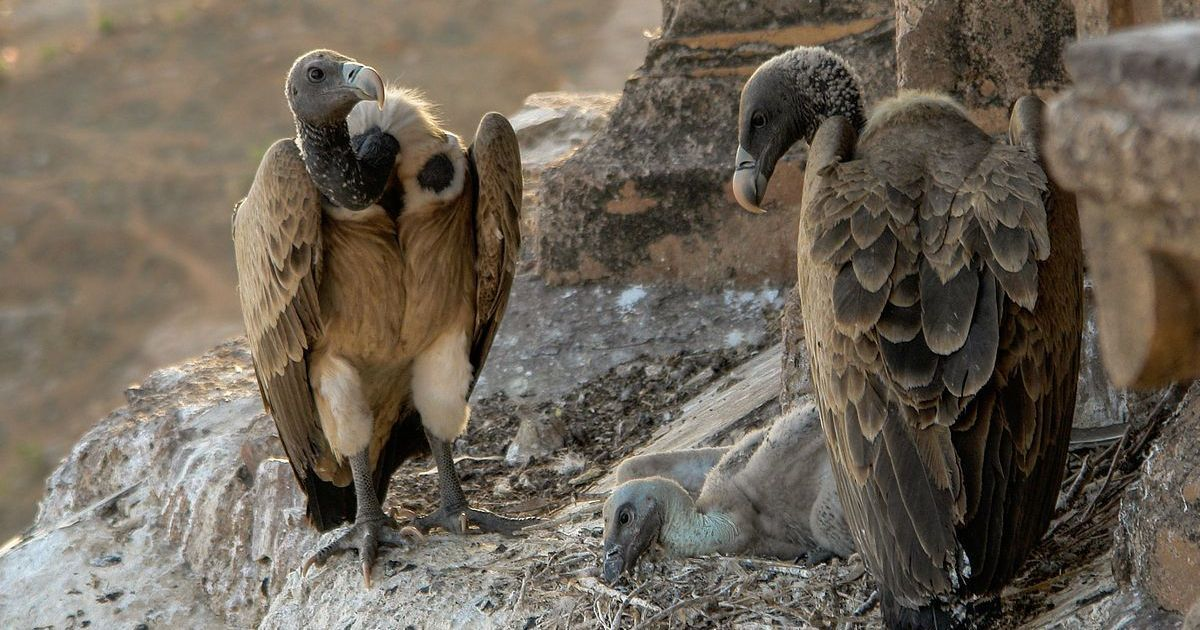 With India's vulture population at death's door, a human health crisis may not be far off