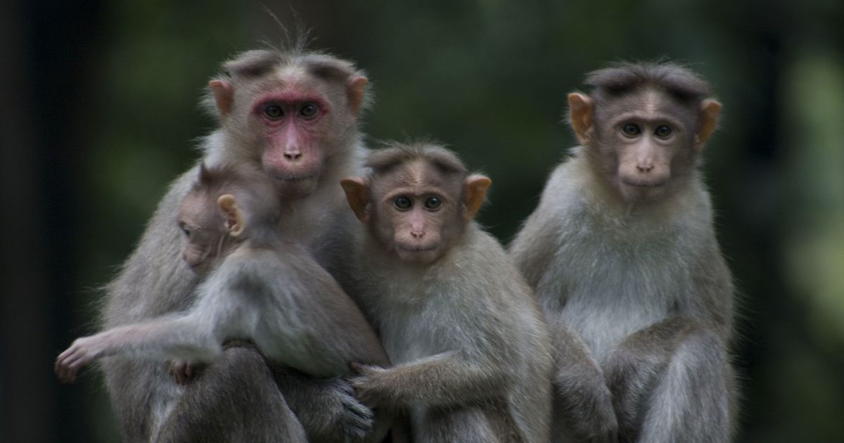 More than 200 Monkeys Die at Amroha in Uttar Pradesh