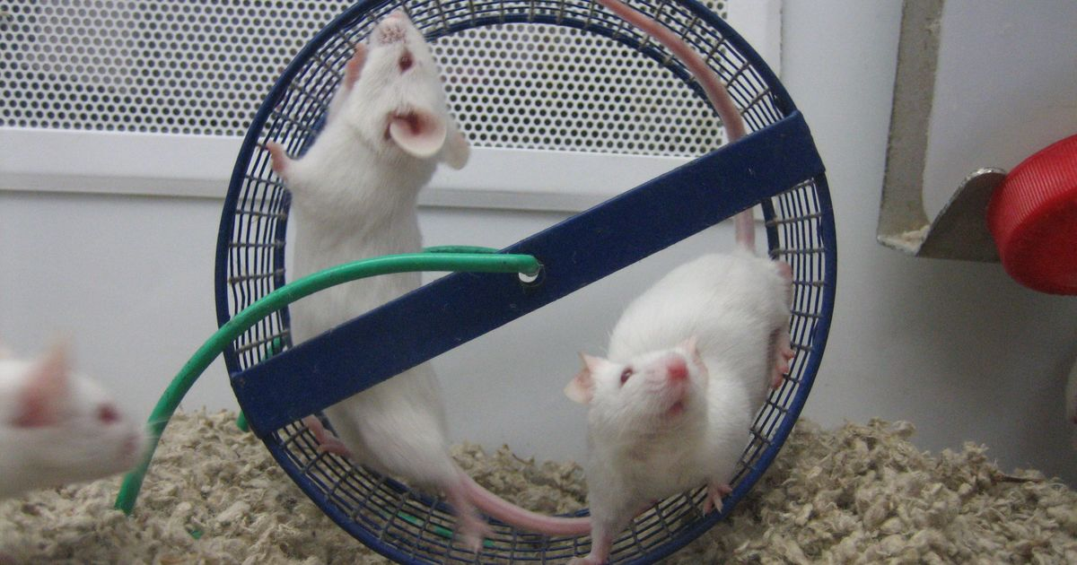 Of mice and men: Why drugs successfully tested on animals are sometimes deadly in humans