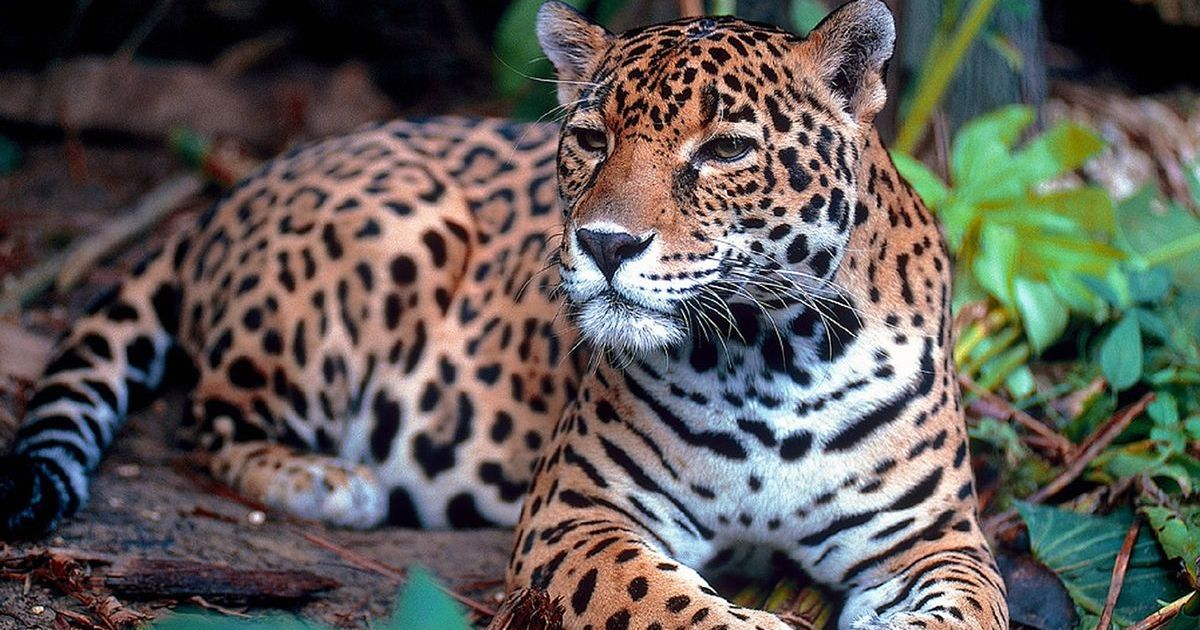 From jaguar teeth to the nail of the great beast: The evolution of animal medicines