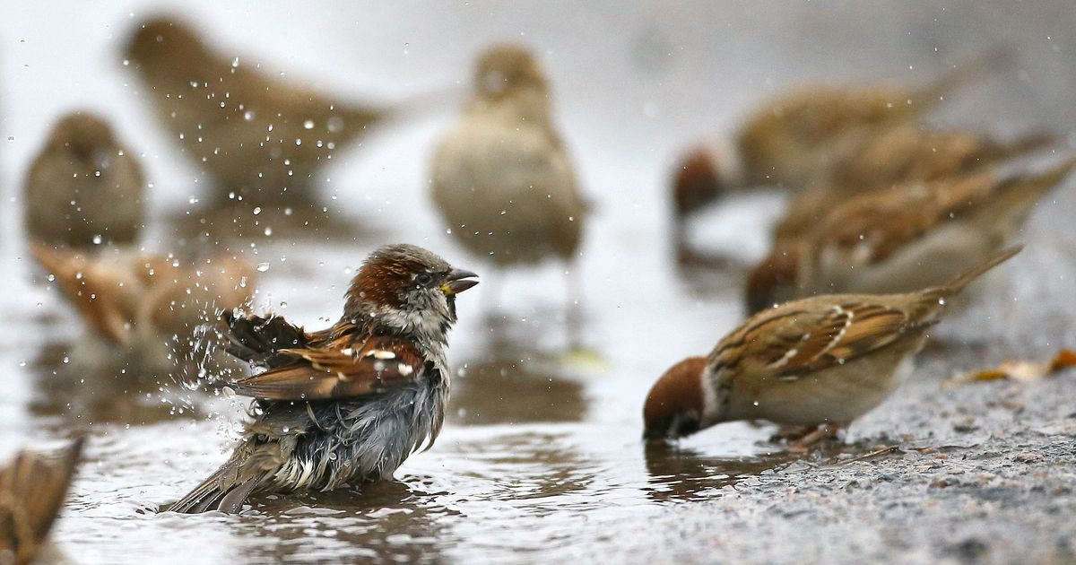Are Bengaluru's sparrows migrating to its international airport?