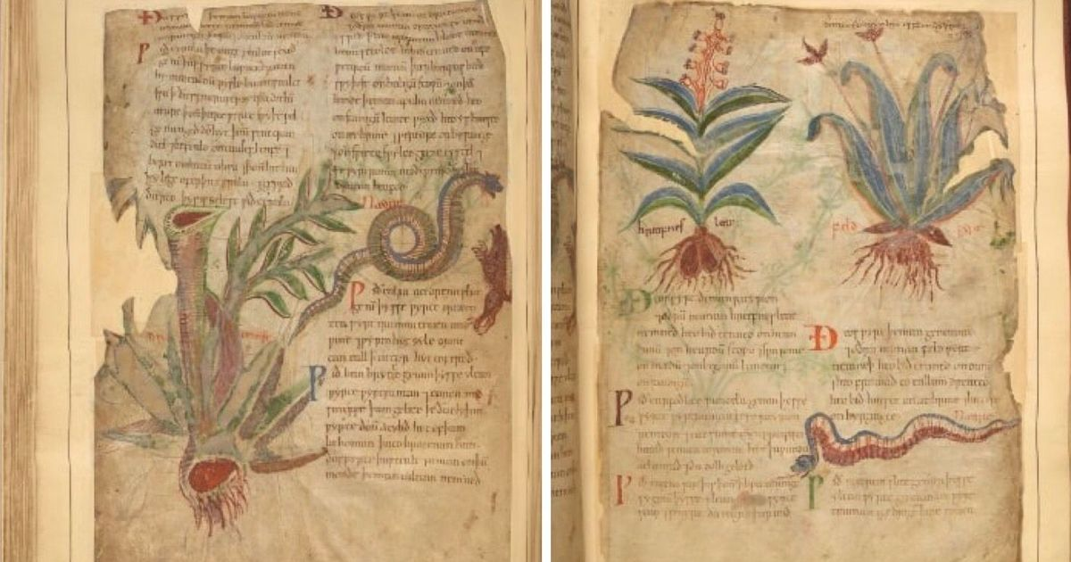 An ancient Anglo-Saxon book of plants has a cure for the common cold, but you may not like it