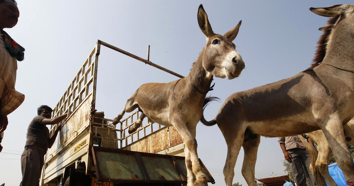 Indian authorities jail donkeys for eating expensive plants