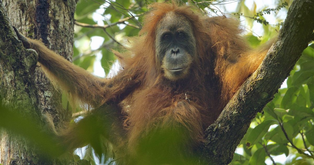 Meet Sumatra's Tapanuli orangutan: The world's newest known great ape is already nearly extinct