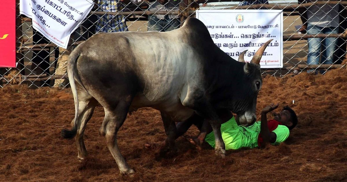 Jallikattu: Tamil Nadu allows bull-taming sport in three places in Madurai next month