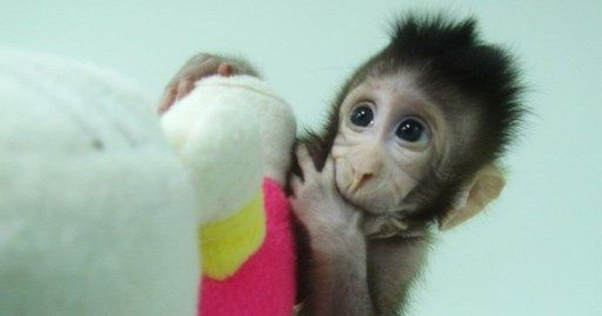 Chinese Scientists Have Successfully Cloned Monkeys For The First Time