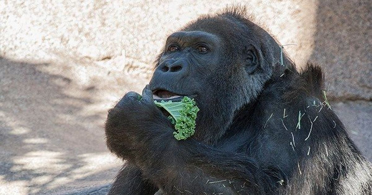 One of the world's oldest gorillas dies in captivity aged 60