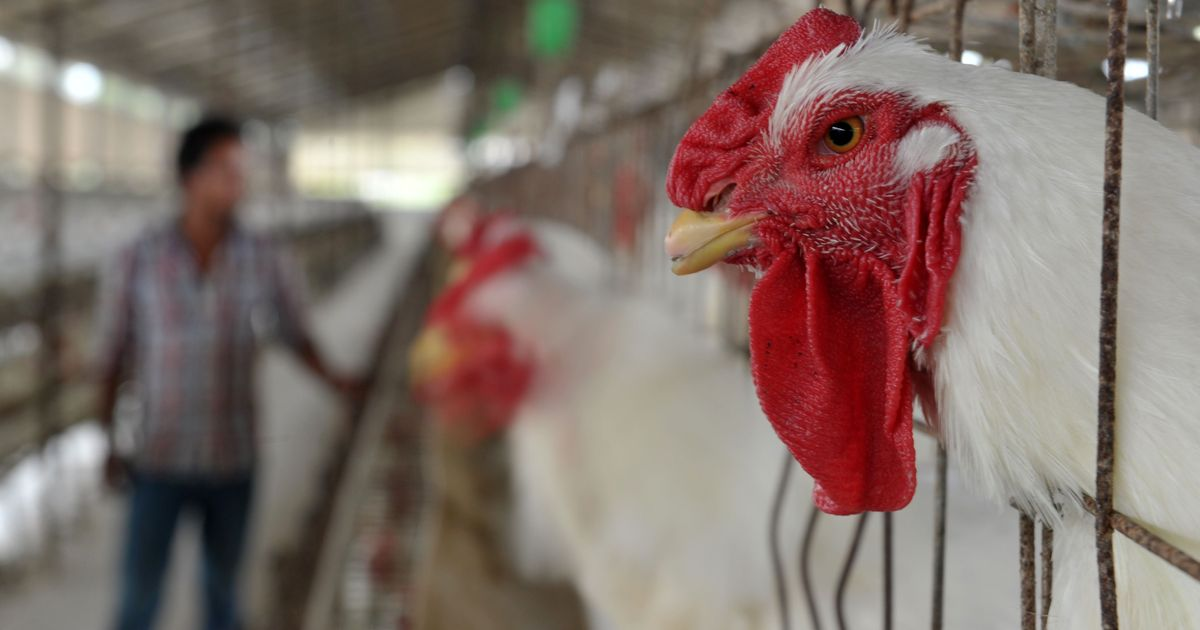 Colistin antibiotic is fed to chickens in India, could