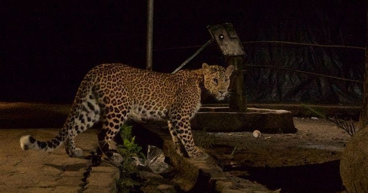 Leopards in Mumbai's Sanjay Gandhi National Park could actually be making the city safer for humans