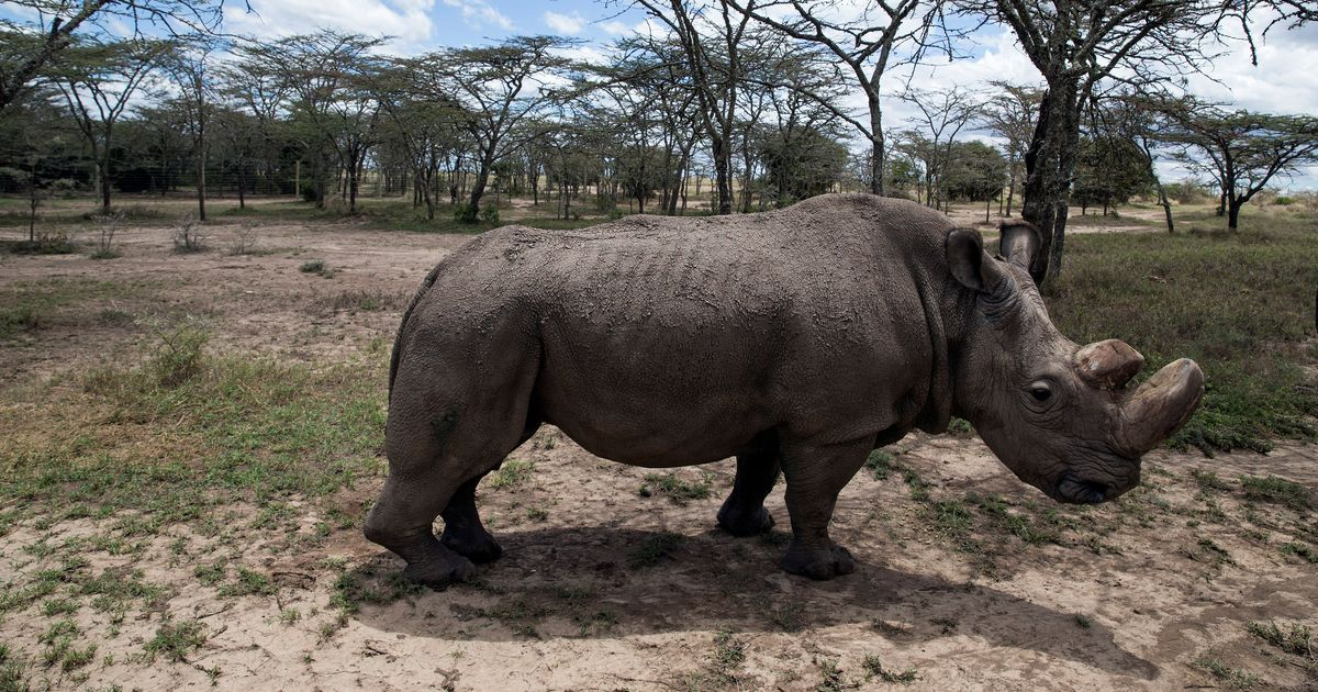 World's last male northern white rhino dies in Kenya of age-related complications