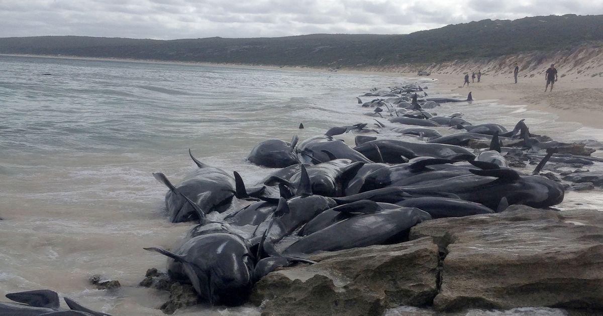Australia: 150 whales wash ashore on Hamelin Bay, 135 die