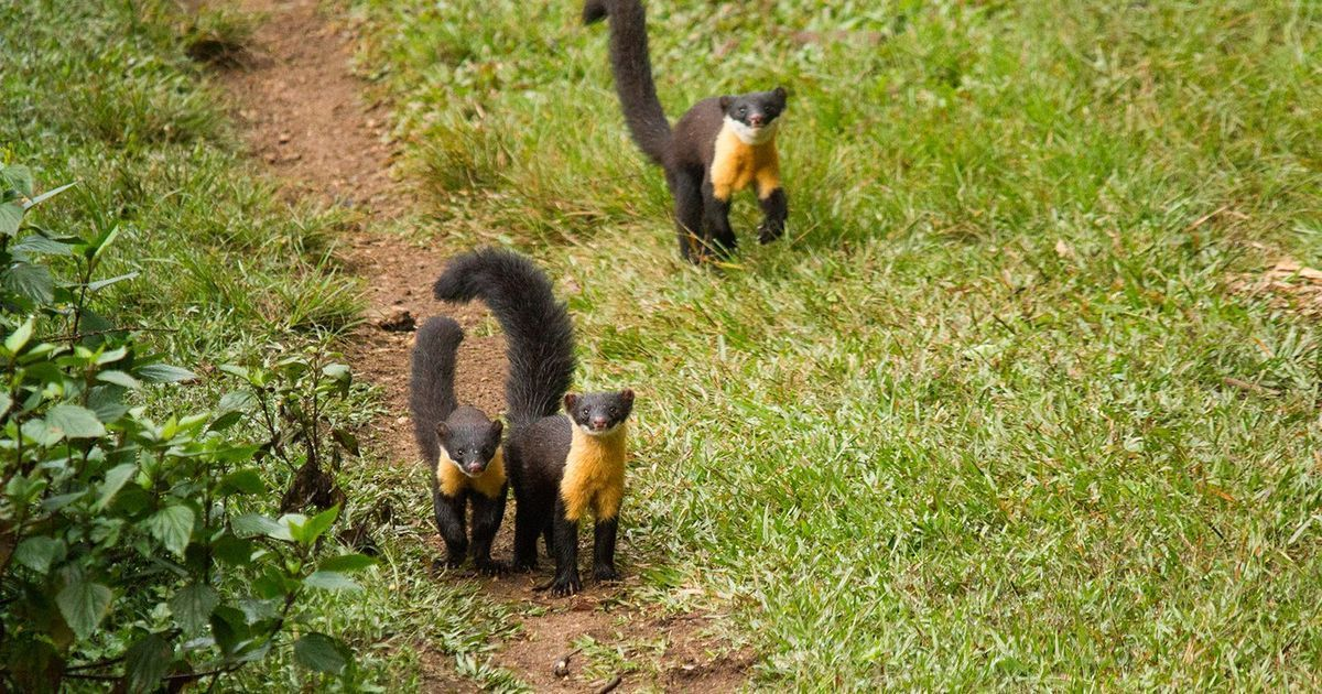 A new study sheds light on the elusive Nilgiri marten, a badger-like mammal with a yellow throat
