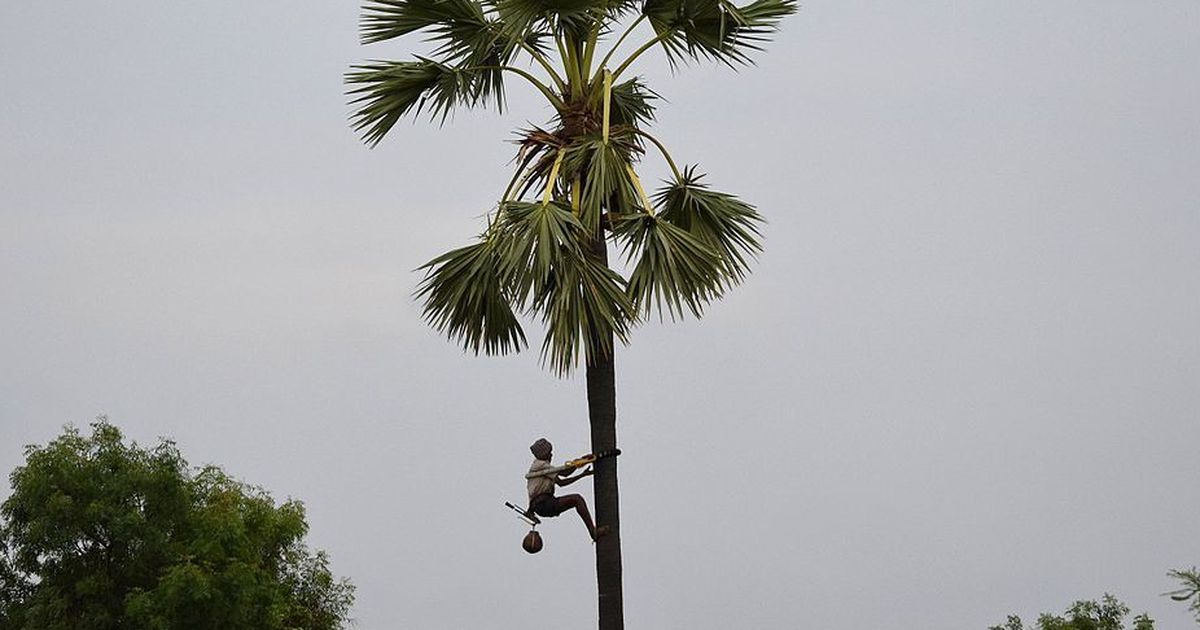 as tamil nadu s palm trees dwindle climbers hope awareness of their