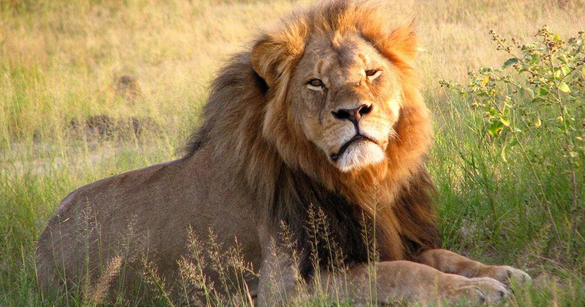 Three years on, the outrage over the killing of Cecil the lion has failed to achieve much