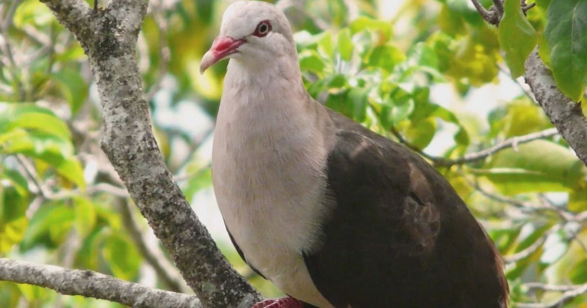 A genetic rescue mission could save the pink pigeon in Mauritius