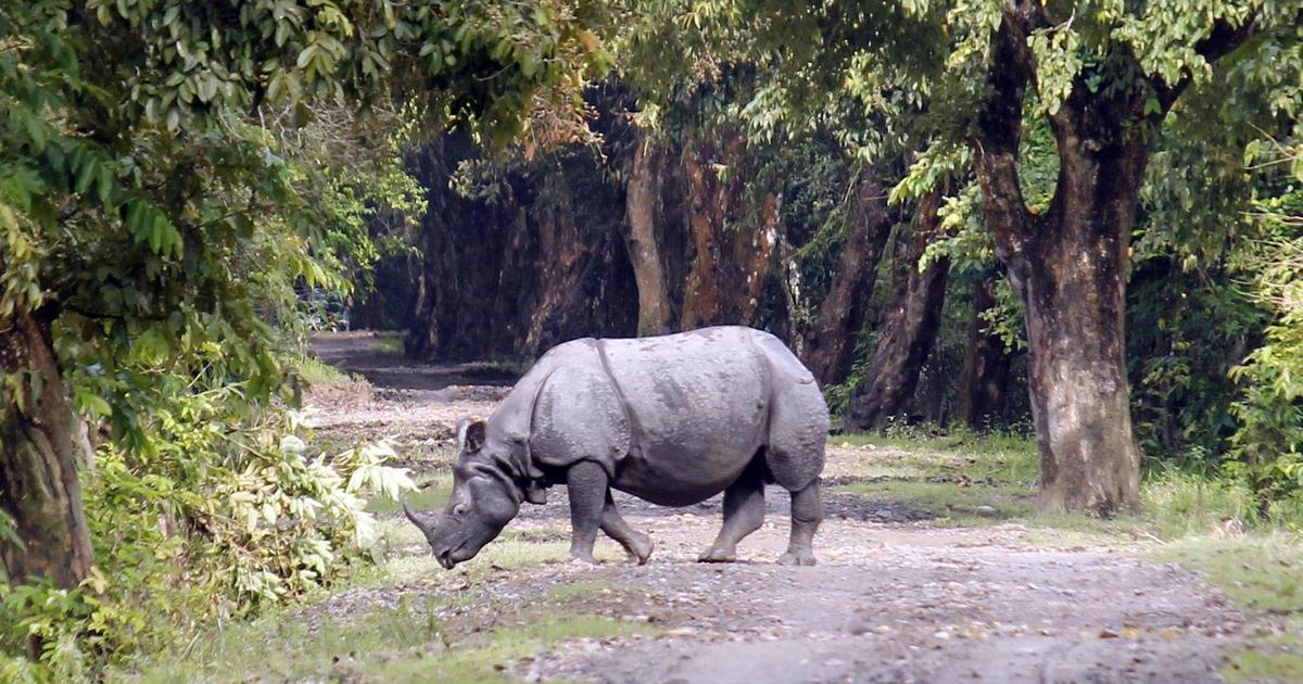 Assam: Rhinoceros dies in Kaziranga National Park after forest guards fire at it in 'self-defence'