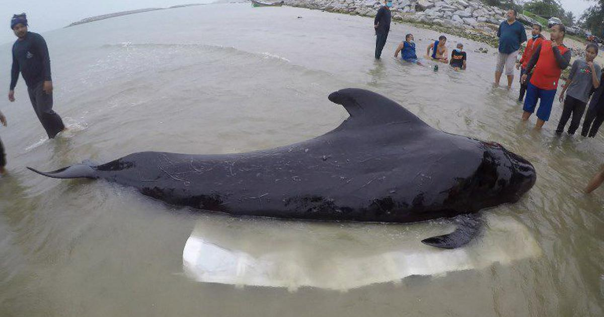 Thailand: Whale dies after consuming over 80 plastic bags