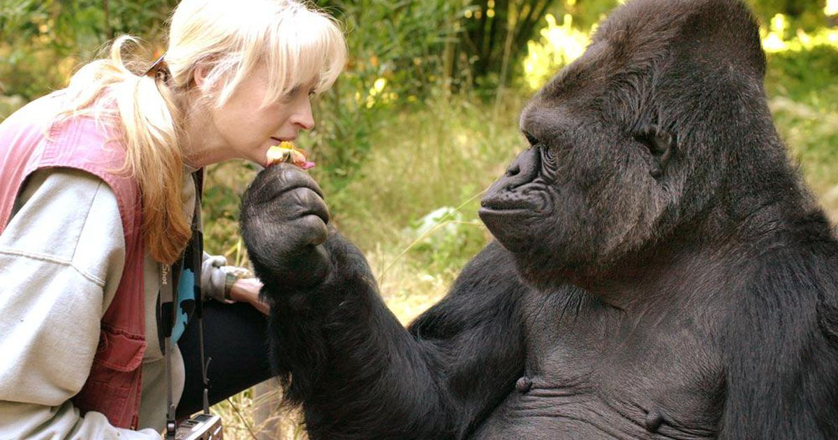 Koko, the gorilla who mastered sign language, dead at age 46