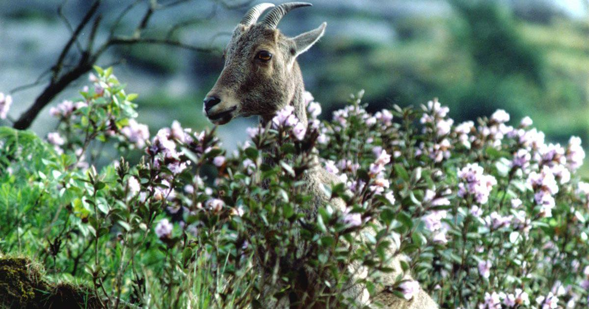 After 12 years, the famed neelakurinji flower will bloom in Kerala's Munnar hills this month