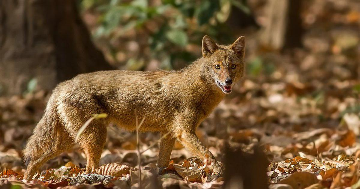 Why golden jackals have made home in Kolkata and Guwahati airports