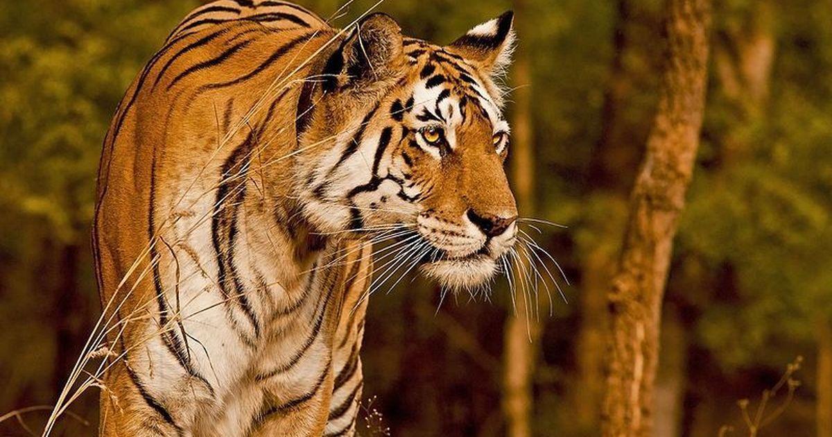 Collarwali tigers