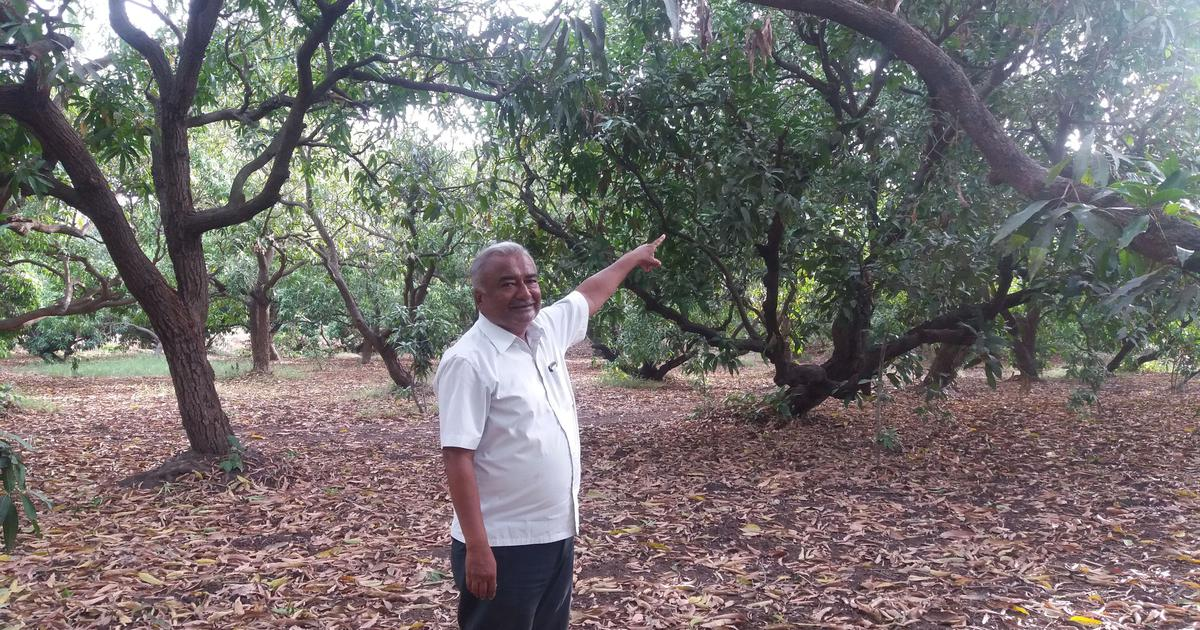 80,487 trees and counting: Bullet train will dent mango, chikoo exports, say Gujarat's fruit farmers