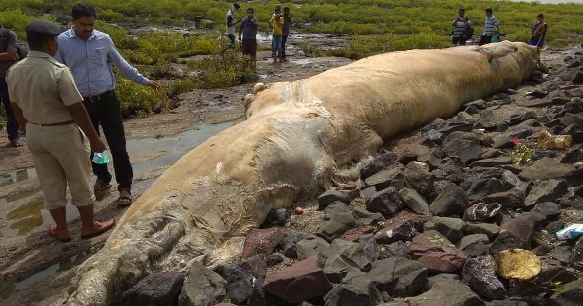 Maharashtra: Whale carcass washes ashore in Uran