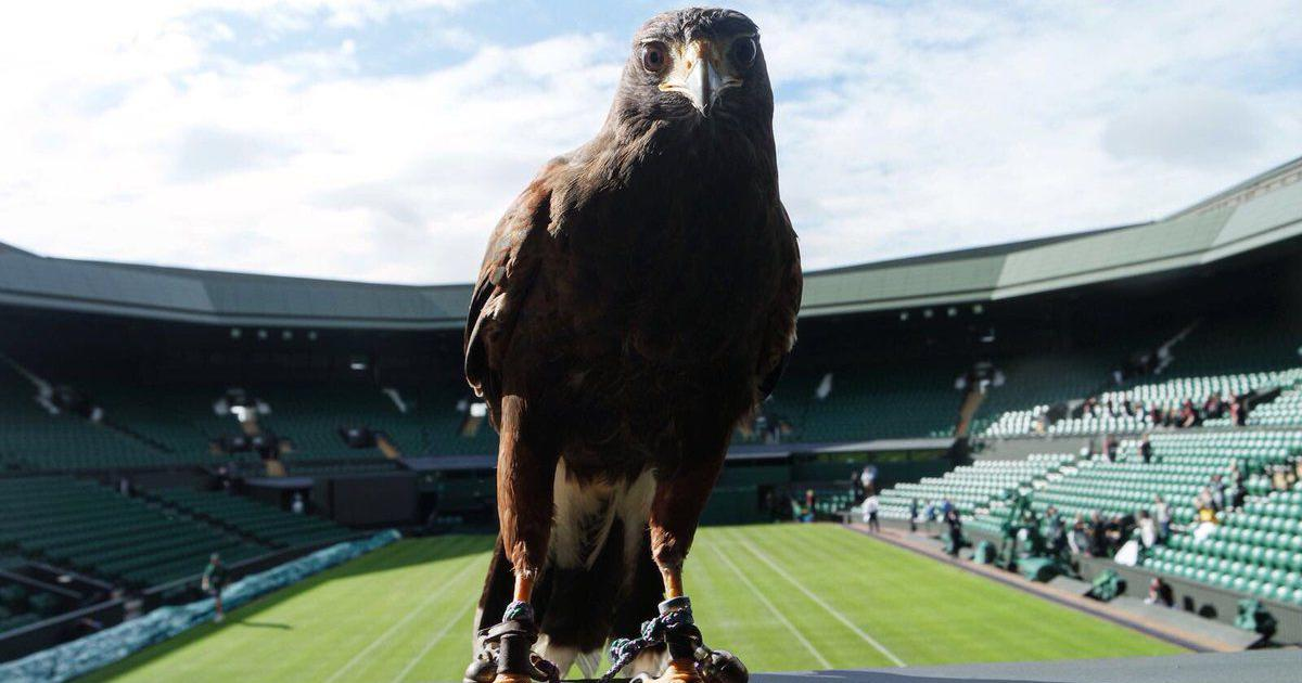 Rufus, Wimbledon's famous hawk, has a sidekick in training for upcoming Court One roof