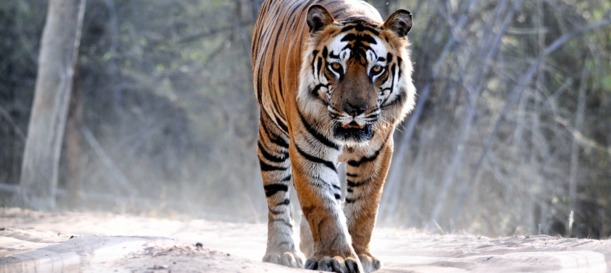 On World Tiger Day, five lovers of the big cat describe their most thrilling brush with the animal